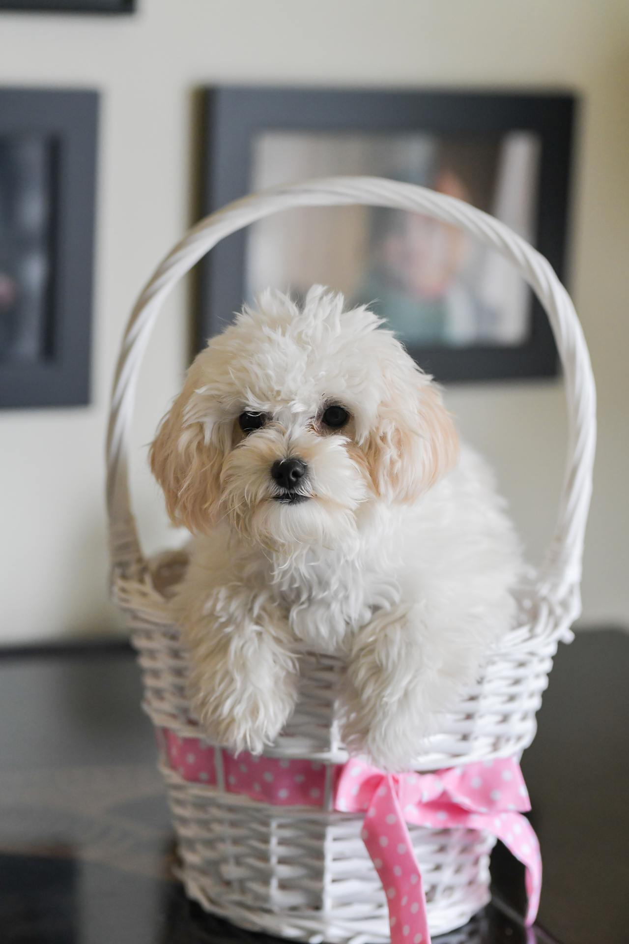 Maltipoo puppy sitting in an Easter basket. Pet Photographer in Naples Italy